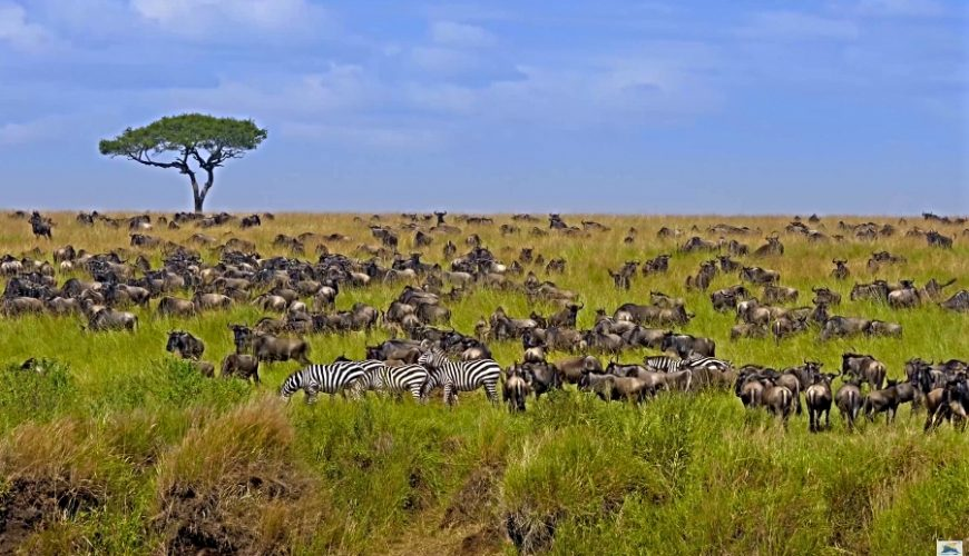 Into The Wildlife-Kenya_Big herd of Wildebeest in the savannah. Great Migration. Kenya Masai Mara National Park_Africa