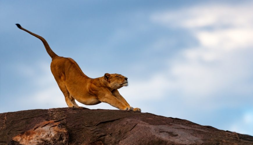 Lion female stretches on the Sand River Stones in Masai Mara_Kenya