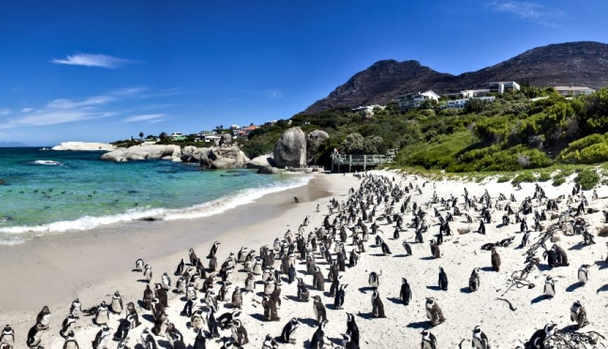 Penguins at Boulders Beach in Simons Town, Cape Town_South Africa